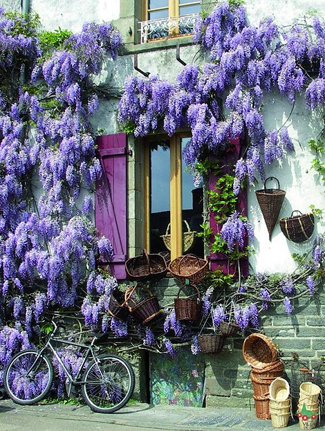 Wisteria, Burgundy, France