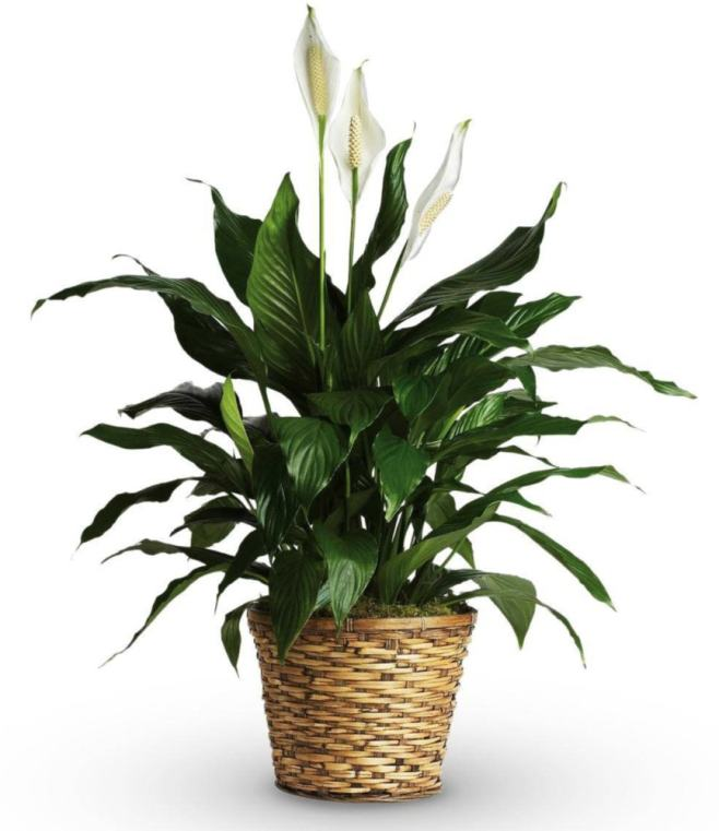 Best Indoor Plants for New York City Apartments