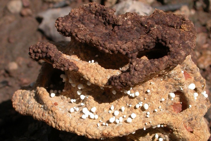 Nido de termitas cultivadas en la prehistoria