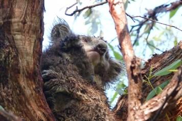 Mum & baby koala