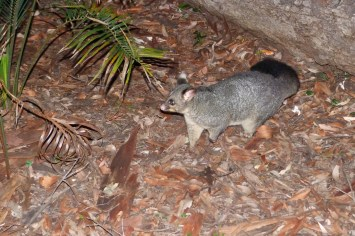 Possum à South Duras