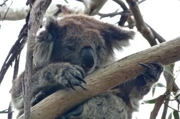 Koala sur la Great Ocean Road