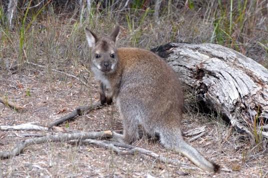 Wallaby à Freycinet