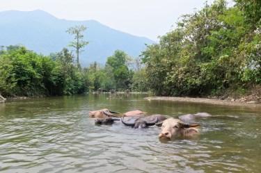 Le bain des bœufs