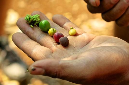 Graines de café aux différents stades de maturation