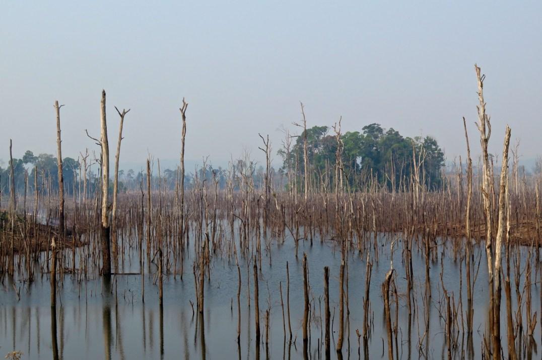 Des troncs morts par milliers