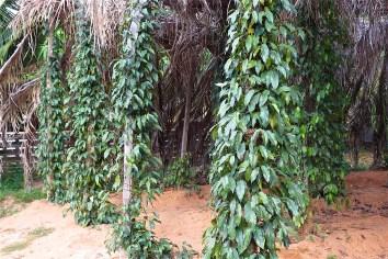 Poivre Kampot Kep Cambodge blog voyage 11