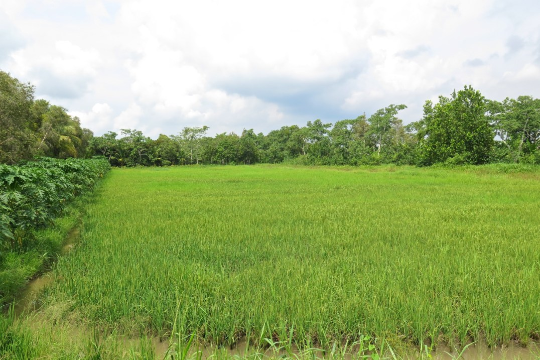 Rizières Can Tho Delta Mekong Vietnam blog voyage 2016 36