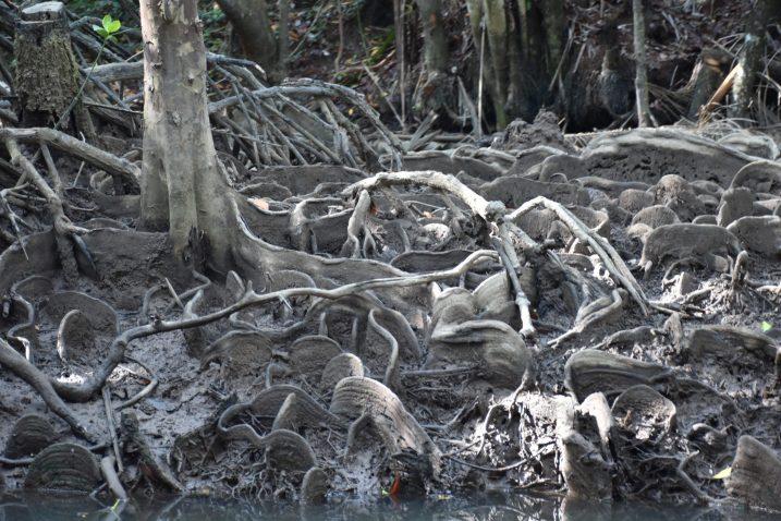 Mangrove Cherating Malaisie blog voyage 2016 16
