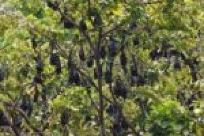 Fruit-bats Palau Tioman Malaisie blog voyage 2016 43