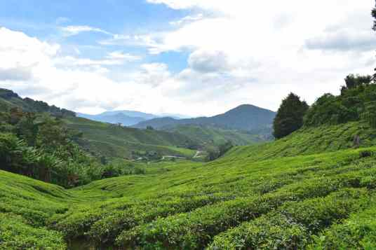 BOH Tea plantation Tanah Rata Cameron Highlands Malaisie blog voyage 2016 23