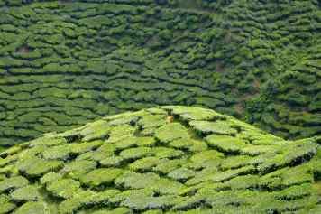 Bharat Tea Plantation Tanah Rata Cameron Highlands Malaisie blog voyage 2016 28