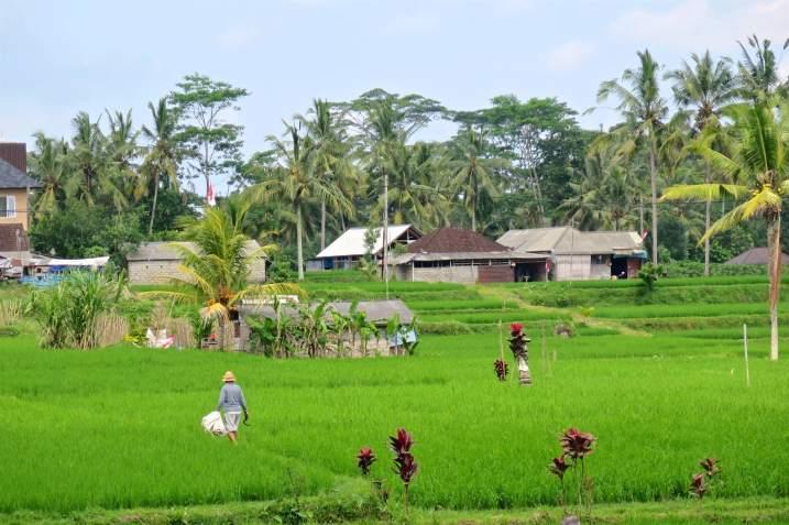 Rizières ubud-indonesie-blog-voyage-2016-31