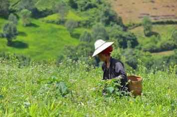 Cueillette Trek-Kalaw-Inle-Myanmar-blog-voyage-2016 29