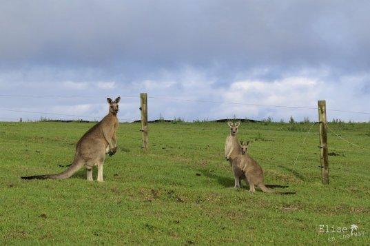 Pâturages à kangourous, sur la Great Ocean Road en Australie