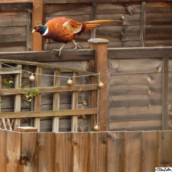 Pheasant on a Fence - Around Here…November 2015 at www.elistonbutton.com - Eliston Button - That Crafty Kid