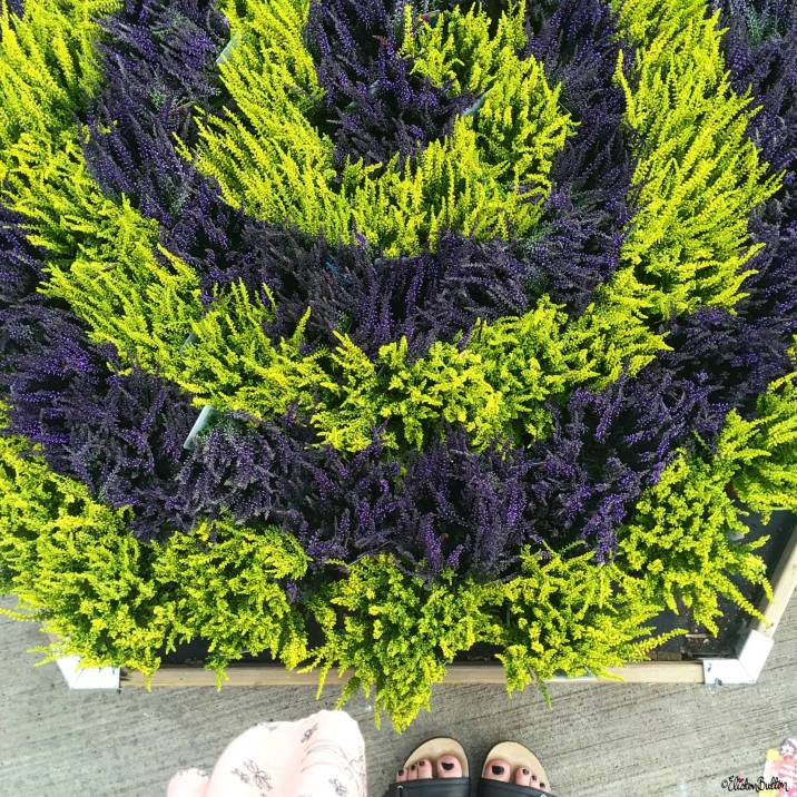 A Swirl of Green and Purple Heathers at a Garden Centre - Around Here…August 2016 at www.elistonbutton.com - Eliston Button - That Crafty Kid – Art, Design, Craft & Adventure.