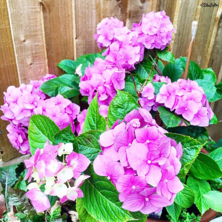 Pink Hydrangea Flower - Around Here…August 2016 at www.elistonbutton.com - Eliston Button - That Crafty Kid – Art, Design, Craft & Adventure.
