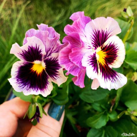Pretty Frilly Pansies in the Garden - Around Here…August 2016 at www.elistonbutton.com - Eliston Button - That Crafty Kid – Art, Design, Craft & Adventure.
