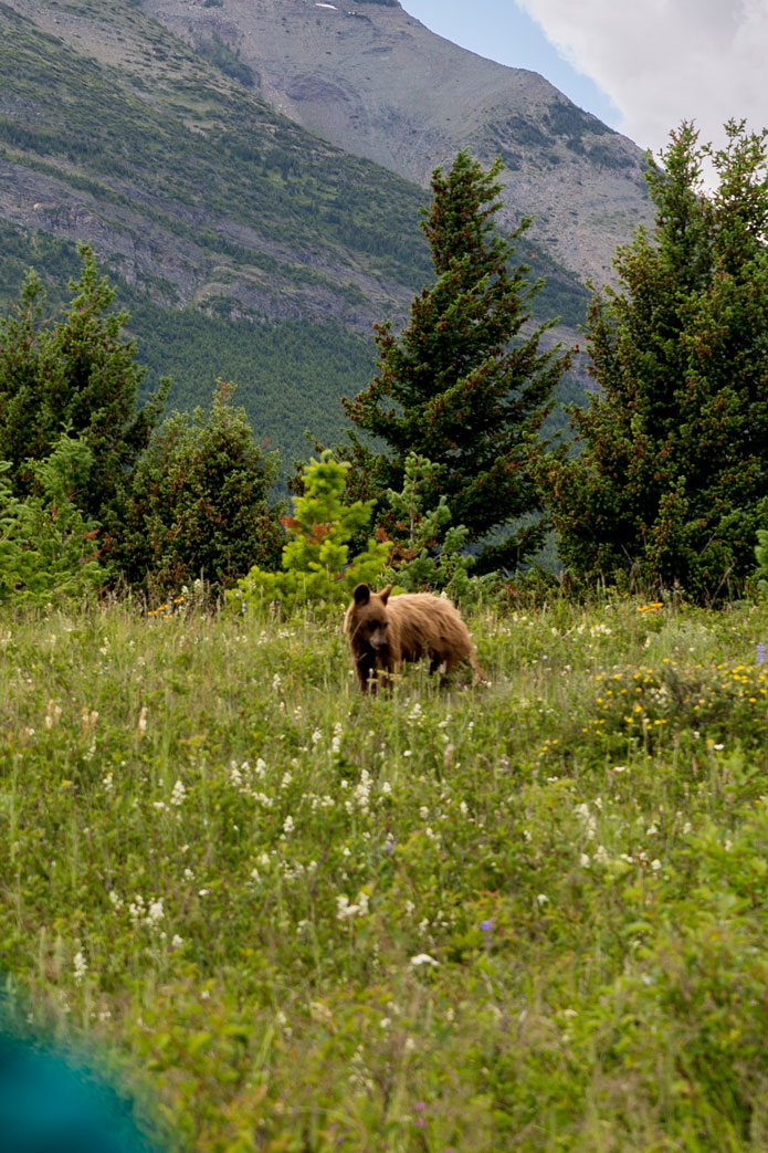 Grizzly bear waterton