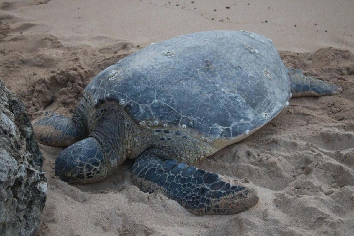 turtle oahu