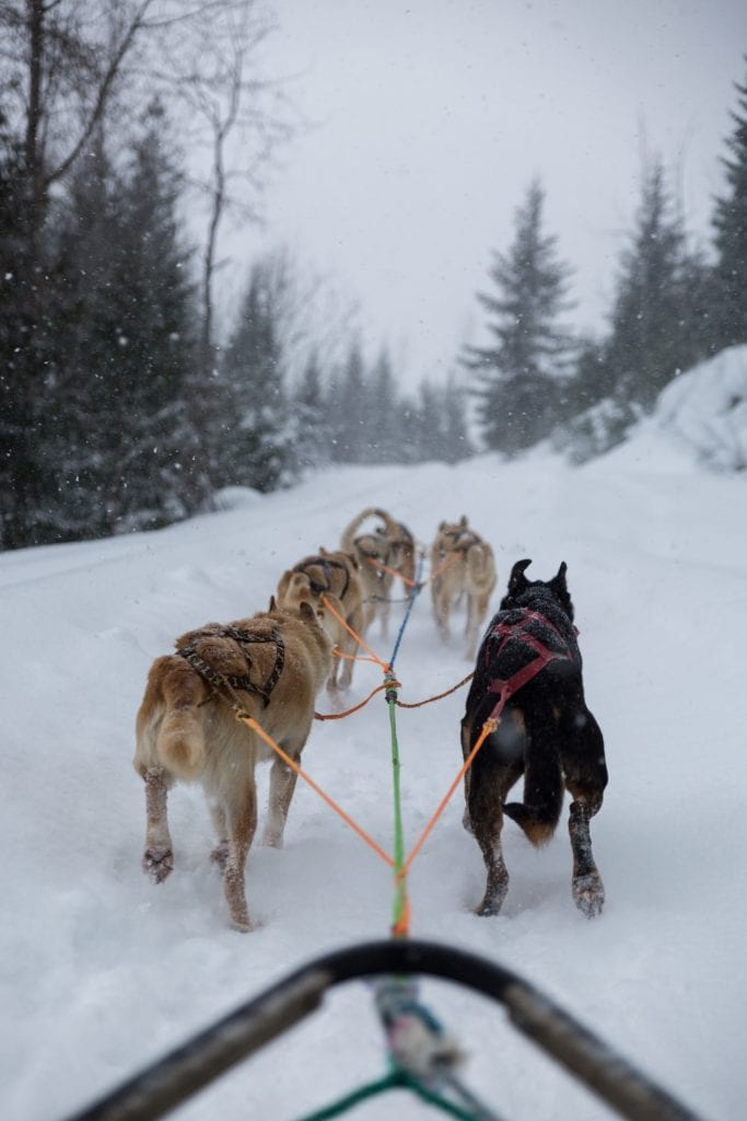 dog sledding revelstoke