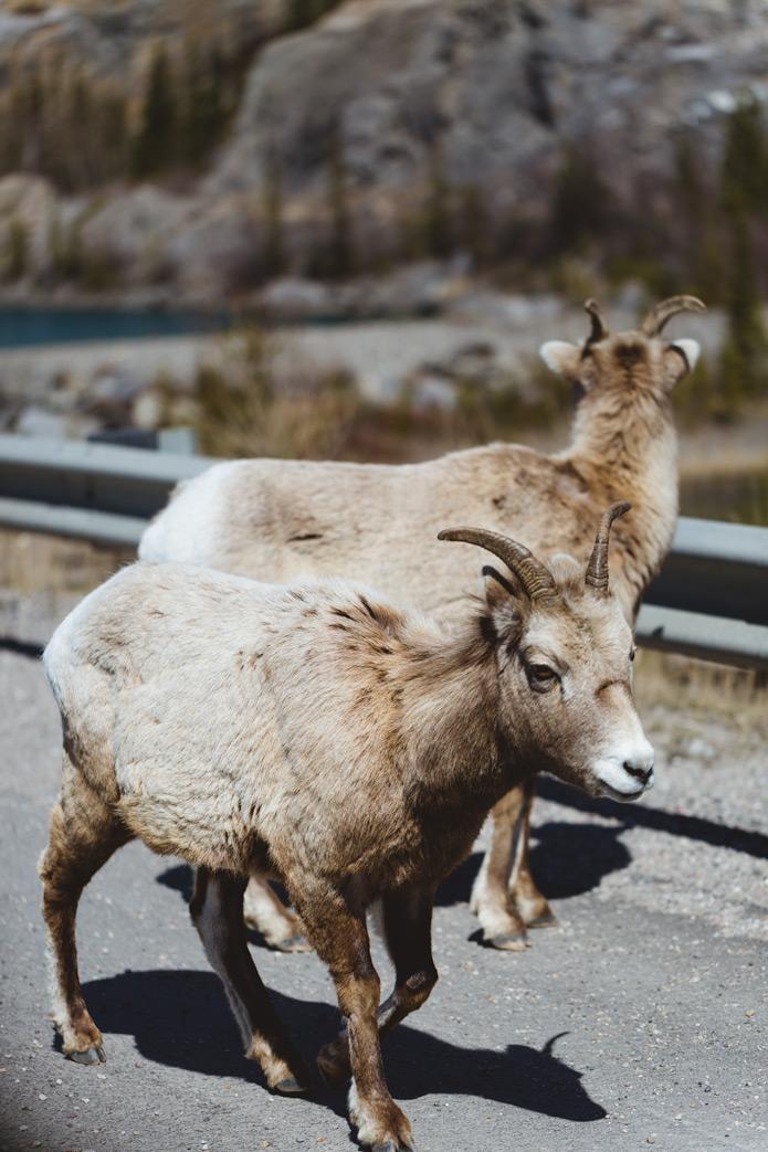 big horn sheep wildlife jasper