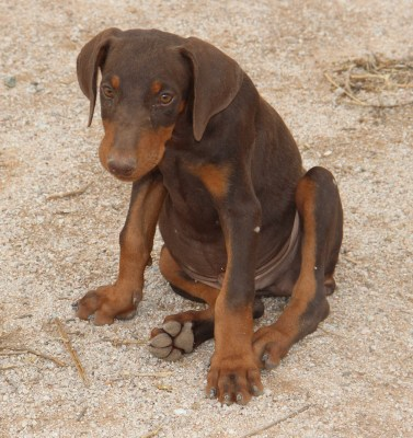 Doberman Pinscher Red Male For Sale Arizona Kennel