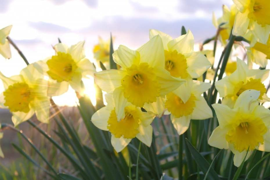 Daffodils – British summertime