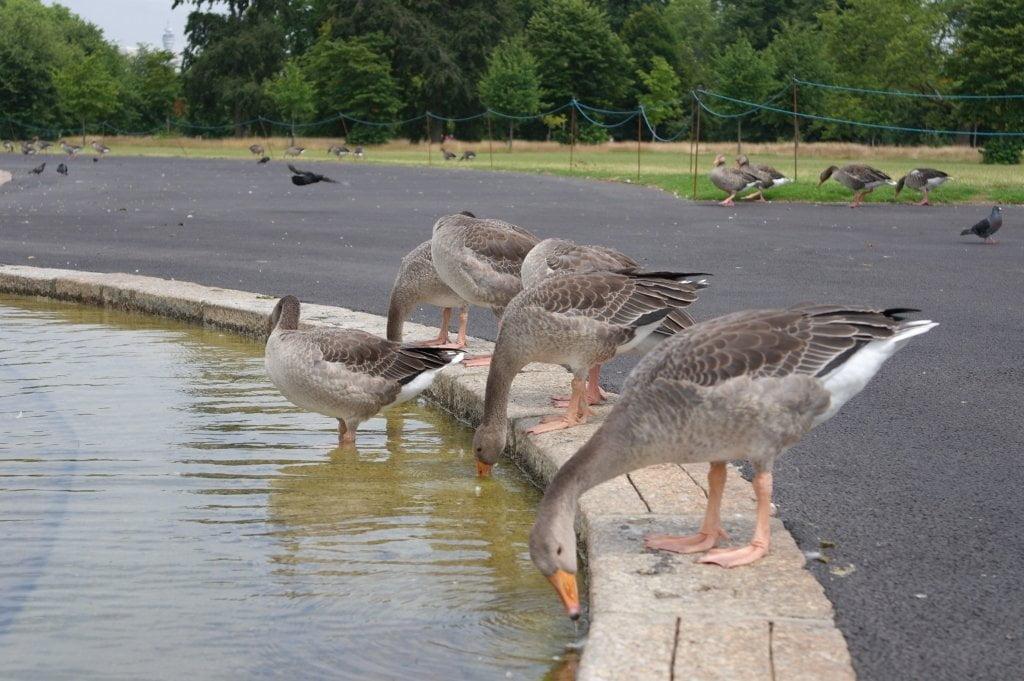 Geese, Round Pond, Kensington Gardens, Hyde Park (3)