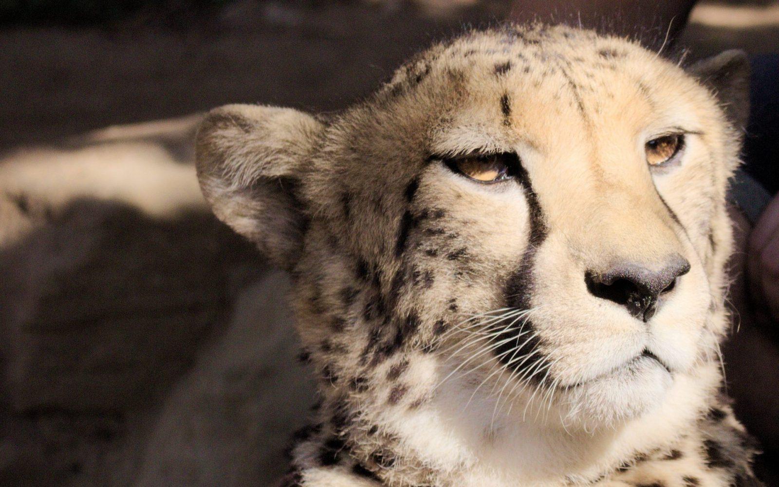 Cheetah-CangoWildlifeCenter