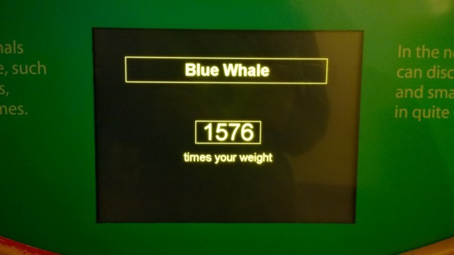 Natural History Museum scales blue whale