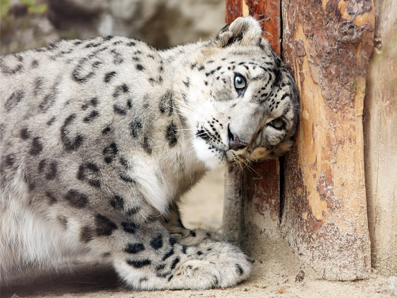 Snow Leopards photo