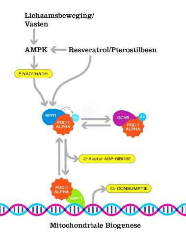 resveratrol pterostilbeen effect mitochondriën