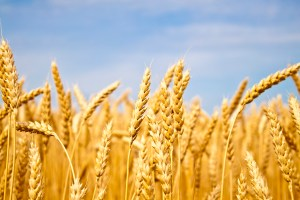 Wheat 1 copy