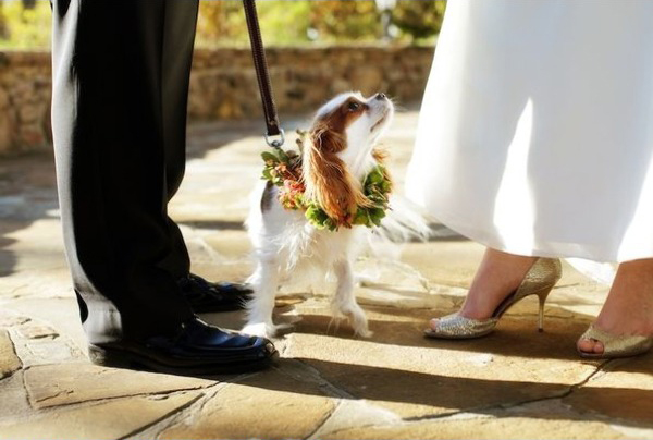 king-charles-cavalier-spaniel-wedding