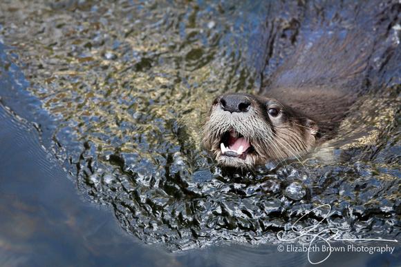 River Otter, Homosassa Springs Wildlife State Park, Homosassa Springs, FL