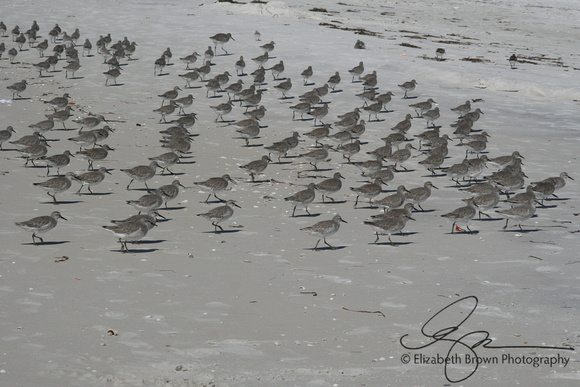 Sanderlings at Sand Key Park, Clearwater, FL