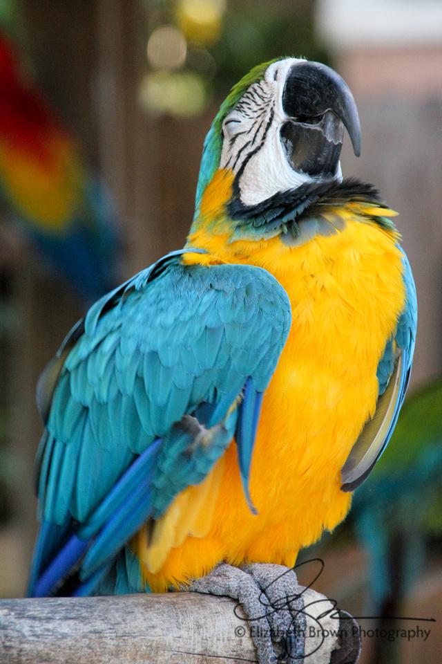 Blue & Yellow Macaw at Sarasota Jungle Gardens