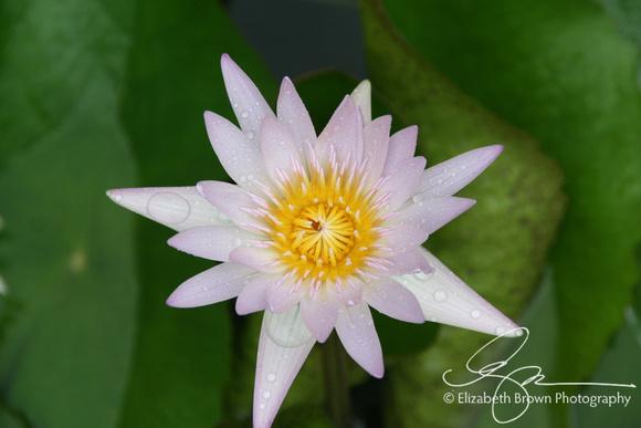 Water Lily at th eFlorida Botanical Gardens