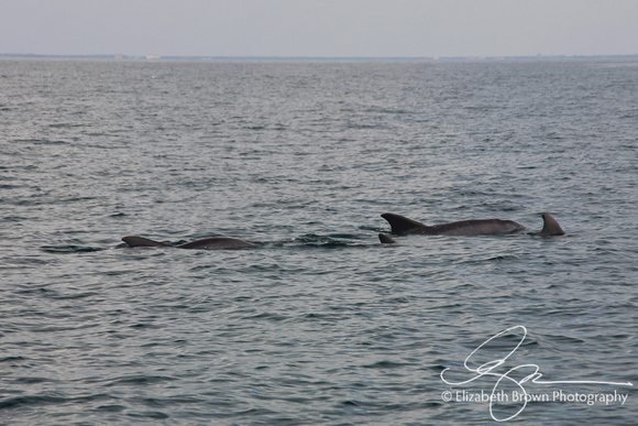 Atlantic Bottlenose Dolphin in the Gulf of Mexico near Clearwater Beach, FL