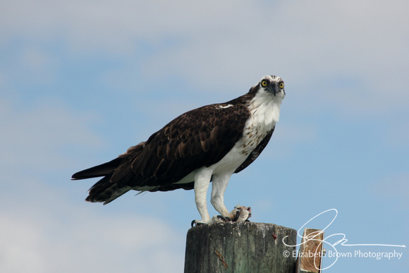 Osprey near Honeymoon Island State Park, Dunedin, FL