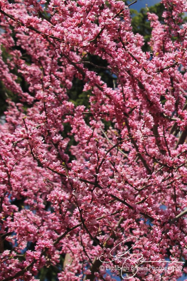 Redbud Tree, Downtown Sonoma, CA