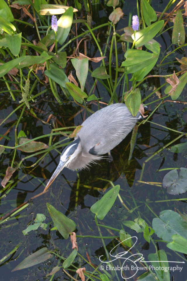 Great Blue Heron at Florida Botanical Gardens, Largo, FL