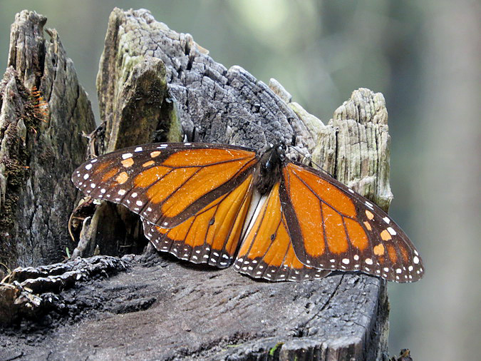 Photos of Butterflies in Mexico at the Monarch Butterfly Sanctuaries