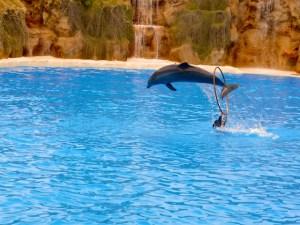 Teneriffa Puerto de la Cruz Loro Parque Delfin-Show Reifen 2016-03-23 Foto Elke Backert