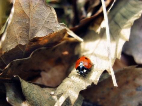 Marienkäfer im Frühling