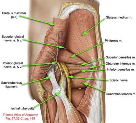 Image result for sciatic nerve