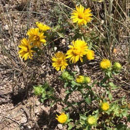 Curlycup Gumweed Tincture