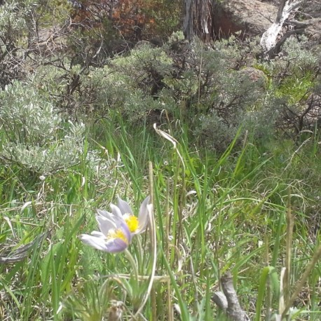 Pasque Flower wild